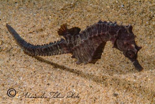 (Syngnathidae) Hippocampus hippocampus 4r