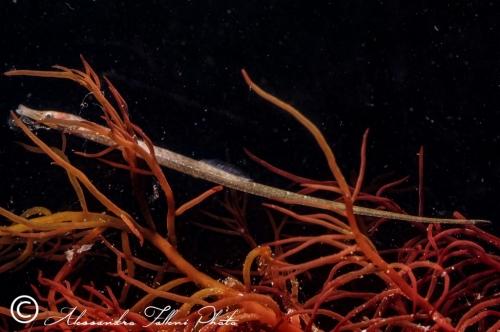 (Syngnathidae) Syngnathus abaster 1r