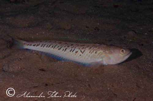 (Trachinidae) Trachinus draco 1r