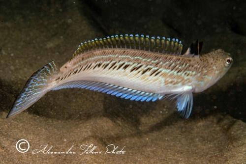 (Trachinidae) Trachinus draco 2r