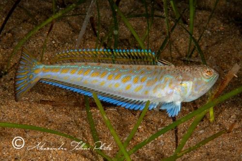 (Trachinidae) Trachinus sp 0r