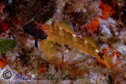 (Tripterygiidae) Tripterygion delaisi 2r