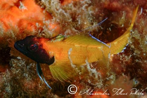 (Tripterygiidae) Tripterygion delaisi 3r