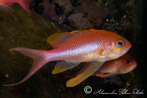 Anthias anthias 1r