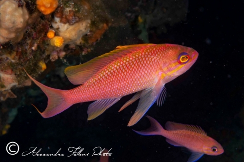 Anthias anthias 2r