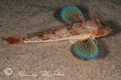 Chelidonichthys lucernus 0r