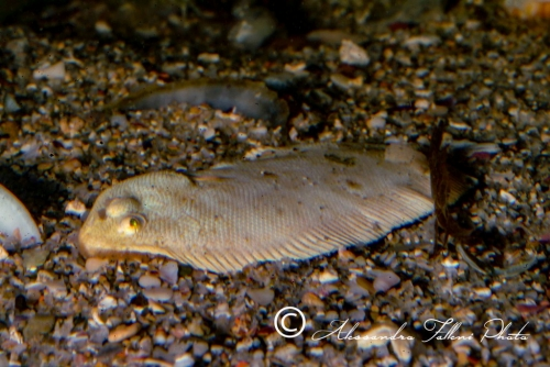 Sinapturichthys kleini 0r