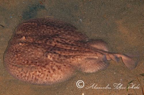 Torpedo marmorata 2r