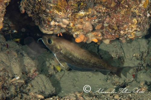 Trisopterus capelanus 1r