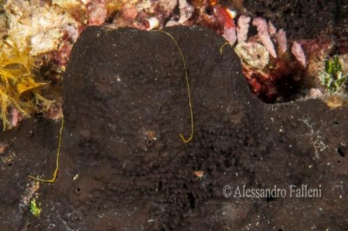 Sarcotragus spinosulus