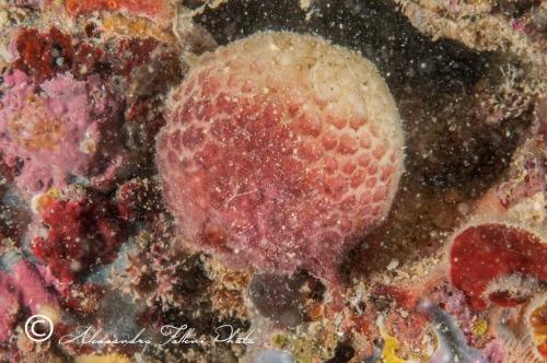 Ascidia sp.100 r