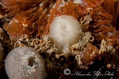 Ascidia sp.130 r