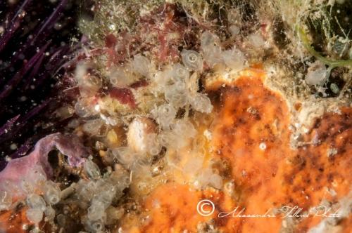 Ascidia sp.141 r