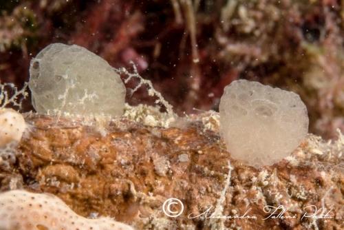Ascidia sp.49 r