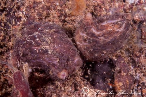 Ascidia sp.69 r