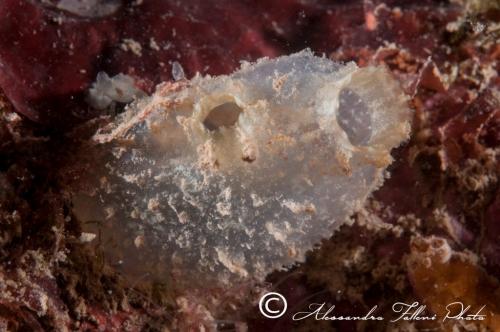 Ascidia sp.81 r
