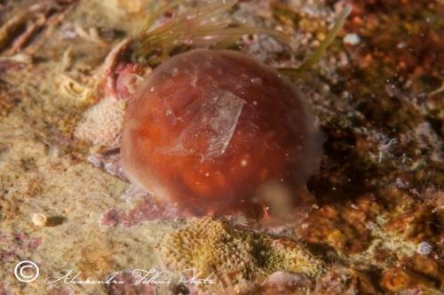 Ascidia sp.97 r