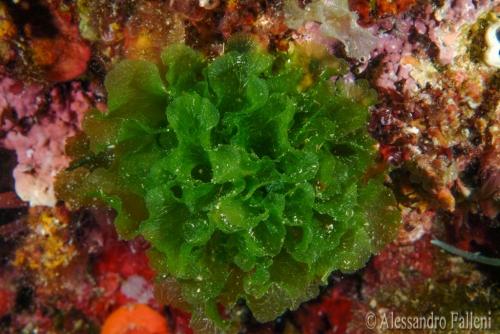 (Alghe) Anadyomene stellata