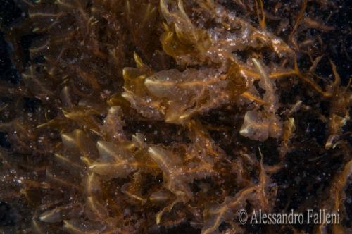 (Alghe) Dictyopteris lucida