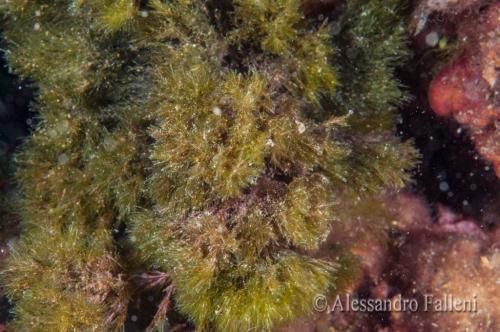 (Alghe) Halopteris scoparia
