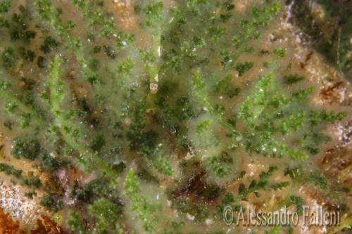 (Alghe) Laurencia caduciramulosa