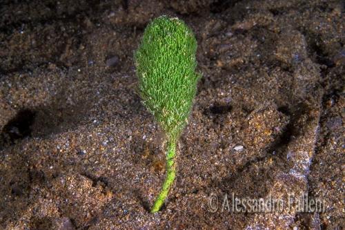 (Alghe) Penicillus capitatus
