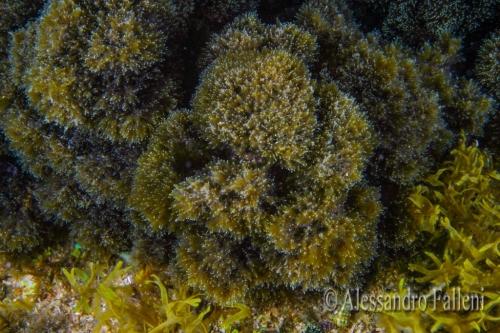 (Alghe) Stypocaulon scoparium