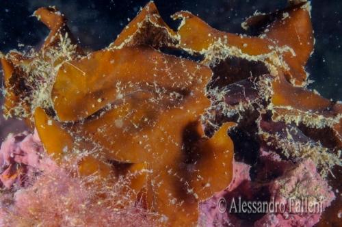 (Alghe) Zanardina typus