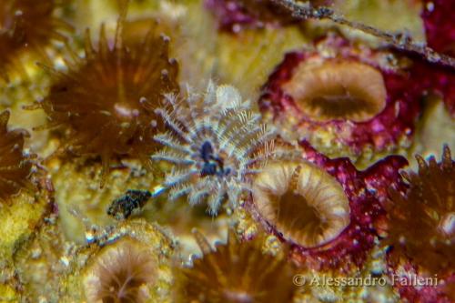 Hydroides pseudouncinatus