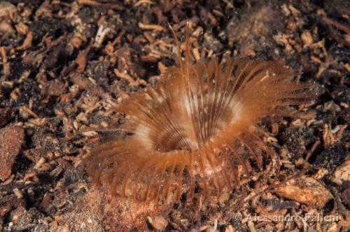 Megalomma versiculosum