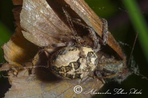 Larinioides patagiatus r
