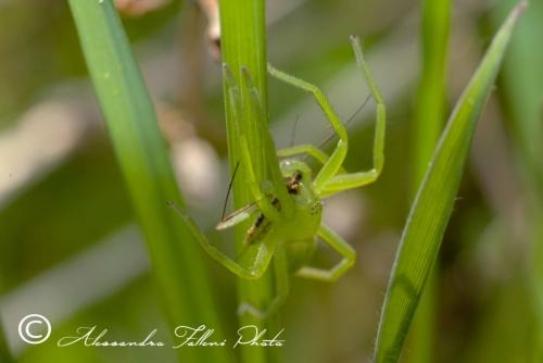 Micrommata virescens r